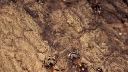 vanity : A colony of ants on a tree trunk. Super macro? 60fps