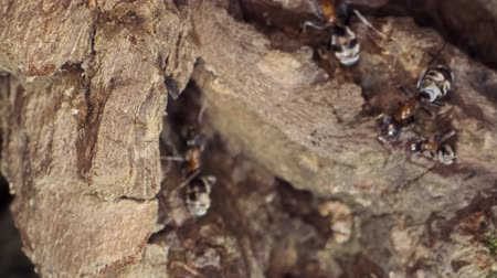stapelen : A colony of ants on a tree trunk. Super macro 3: 1? 60fps