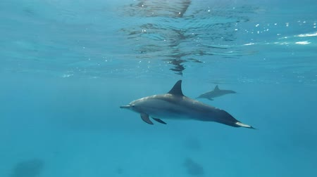 presente : Water dolphin swims in the morning sun rays. Spinner Dolphin (Stenella longirostris), Underwater shot. Red Sea, Sataya Reef (Dolphin House) Marsa Alam, Egypt, Africa Stock Footage