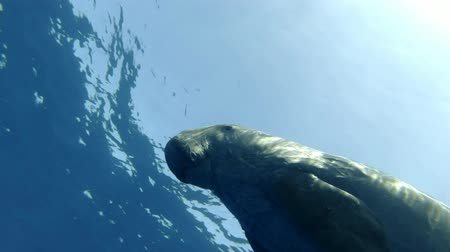 sea cow : Portrait of Sea Cow swim under water in blue water. Dugong or Sea Cow (Dugong dugon) Underwater shot, Low-angle shot, Follow shot, Closeup. Red Sea, Hermes Bay, Abu Dabab, Marsa Alam, Egypt, Africa Stock Footage