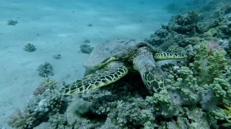 mastigação : Slow motion, Sea Turtle sits on a coral reef and eats soft coral. Hawksbill Sea Turtle or Bissa (Eretmochelys imbricata) Underwater shot, Top view, Closeup. Red Sea, Abu Dabab, Marsa Alam, Egypt, Africa
