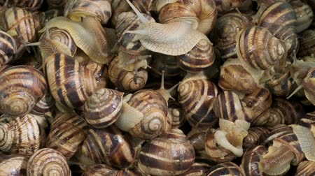 caracol : Sideways movement - Many food snails. Background of live snails. Camera slowlymoves sideway to the right side. Top view? 4K  30fps