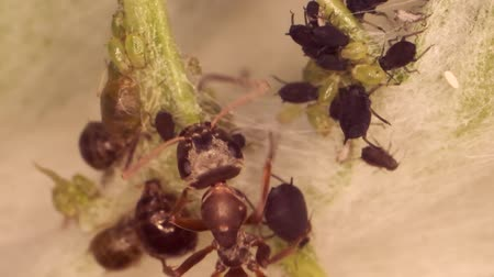 aphidoidea : Red barbed ant thistle milking aphids on a sheet of spear. Slow motion. Super macro 3: 1.