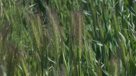 kırılganlık : Wall barley, Natural background, Full HD - 60fps Stok Video
