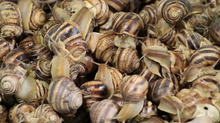 terrestre : Background of live snails (Cepaea hortensis) closeup. Top view? 4K  60fps Stock Footage