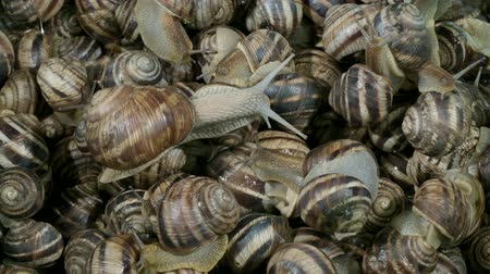 caracol : Close-up of active small snails on the farm during feeding. Background of live snails. Top view? 4K  60fps Stock Footage