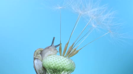 pozemní : Snail crawls on dandelion seedhead on blue background. Low light, blue background. Macro shot 3: 1, 4K - 50fps Dostupné videozáznamy