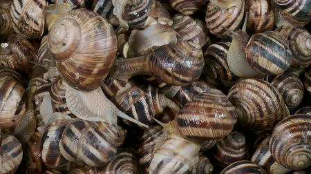 caracol : Active small snails on the farm during feeding. Background of live snails. Close-up, Top view? 4K  60fps