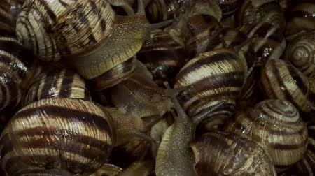 pozemní : A group of food snails. Background of live wet snails. Extreme close up, macro 1: 1. Top view? 4K  60fps