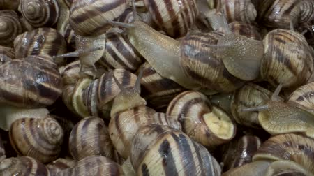 terrestre : Camera rotation 360 degrees - Many food snails. Background of live wet snails. Extreme close up, Top view? 4K  60fps