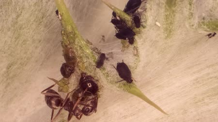 small group of animals : Red barbed ant thistle milking aphids on a sheet of spear. Super macro 2: 1. 4K  60fps Stock Footage