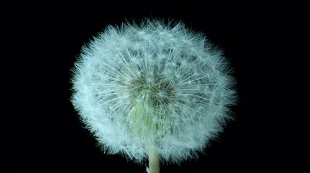 camera rotation : Withered dandelion isolated on black background. Camera rotation 360 degrees? 4K  60fps Stock Footage