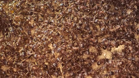 vanity : War in the colony of European fire ant. Super macro 2: 1, 4K  60fps Stock Footage