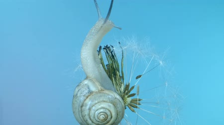 few : Portrait of little snail sits on a blue sky background, isolated. Macro 1: 1? 4K  60fps