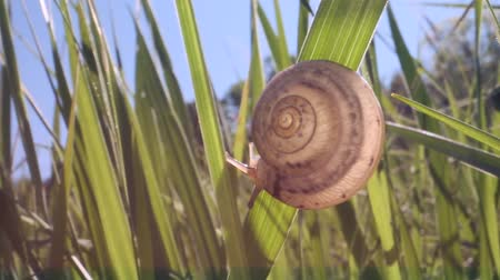 caracol : A small snail is sitting on a sunny day. Low-angle shot, Close-up, Full HD - 60fps