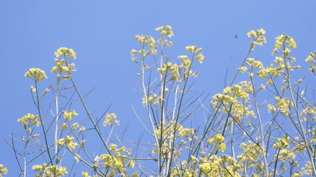fragilidade : Mustard flowers on blue sky background. Natural background, Close-up, Full HD - 60fps
