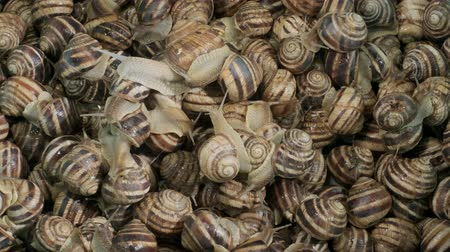 terrestre : Background of live snails. Snail in the center is in camera focus. Top view? 4K  60fps