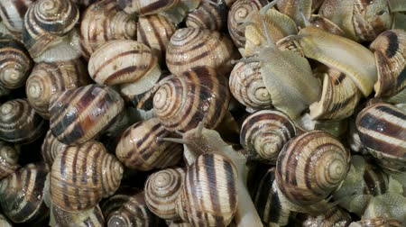 pozemní : Close-up of group of food snails. Background of live snails. Top view? 4K  60fps