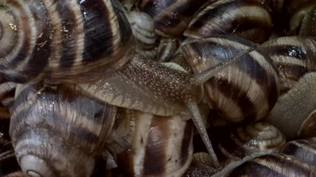 caracol : A group of food snails. Background of live wet snails. Super macro 2: 1. Top view? 4K  60fps