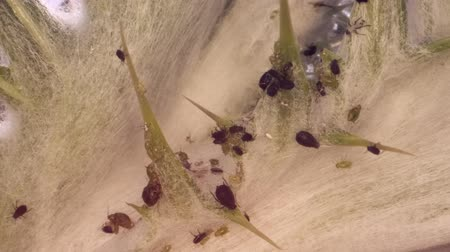 aphidoidea : Colony aphids thistle Macro 1: 1. 4K  60fps Stock Footage