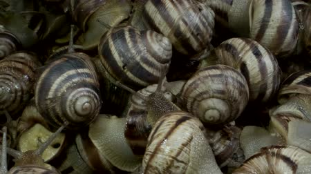 terrestre : Camera rotation 360 degrees - A group of food snails. Background of live snails. Super macro, Top view? 4K  60fps Stock Footage