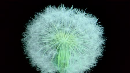 fragilidade : Dandelion clock, close-up, macro isolated on black background. Camera rotation 360 degrees? 4K  60fps