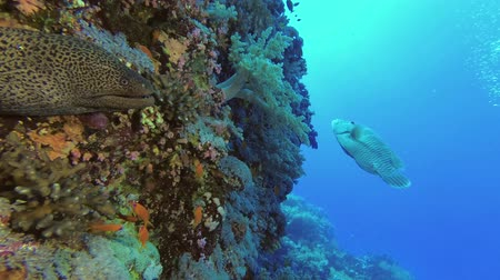 papagaio : Napoleon fish swims on the background. Giant moray - Gymnothorax javanicus and Humphead Wrasse or Napoleonfish - Cheilinus undulatus. Stock Footage