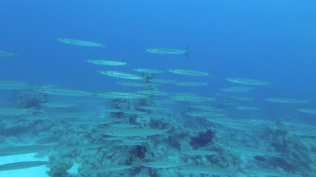 ribambelle : School of Barracudas swim over coral in the blue water background. Blackfin barracuda - Sphyraena jelio, Underwater shots Vidéos Libres De Droits