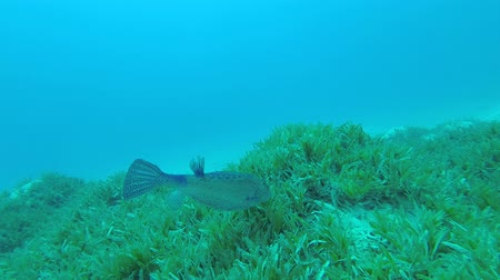wiet : Boxfish feeds on the sea bottom covered with green seagrass. Yellow Boxfish - Ostracion cubicus, Underwater shots