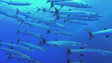 szczupak : Slow motion - School of Barracudas slowly swim in the blue water. Blackfin barracuda - Sphyraena jelio, Underwater shots
