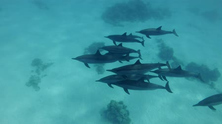 delfín : A pod of dolphins swim over sandy bottom. Spinner dolphins (Stenella longirostris), Underwater shot, follow shot, escort, top view. Red Sea, Sataya Reef (Dolphin House) Marsa Alam, Egypt, Africa