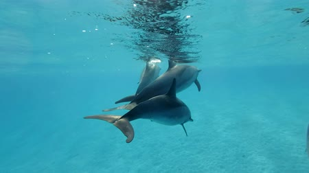 Коста : Group of dolphins swims very close to under water in blue water. Spinner Dolphin (Stenella longirostris), Underwater shot, Closeup. Red Sea, Sataya Reef (Dolphin House) Marsa Alam, Egypt, Africa
