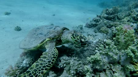 mastigação : Sea Turtle sits on a coral reef and slowly chews soft coral. Hawksbill Sea Turtle or Bissa (Eretmochelys imbricata) Underwater shot, Closeup. Red Sea, Abu Dabab, Marsa Alam, Egypt, Africa