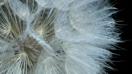 tragopogon pratensis : Details of seed-head flower. Rotating seedhead, Extreme close up. Rotation 360 degrees