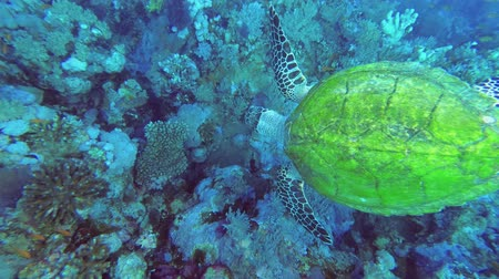 тропики : Sea Turtle swims over coral reef, Top view. Hawksbill Sea Turtle or Bissa - Eretmochelys imbricata, Underwater shots Стоковые видеозаписи