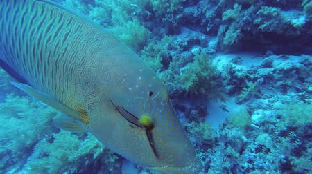 napoleon : A young Napoleon fish swims between two scuba divers approaches a camera. Humphead Wrasse or Napoleonfish - Cheilinus undulatus, Underwater shots