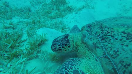 reen : Two sea turtles lie on the sandy bottom and green seagrass. Green Sea Turtle - Chelonia mydas, Underwater shots