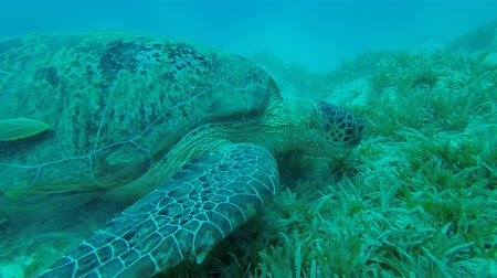 общий : Sea turtle lies on the sandy bottom. Green Sea Turtle - Chelonia mydas, Underwater shots Стоковые видеозаписи