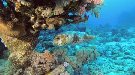 pufferfish : Porcupinefish fish hiding under the coral. Spotted Porcupine Fish - Diodon hystrix, Underwater shots Stock Footage