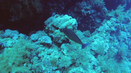 pisces : Slow motion - Unicornfish slowly swim near coral reef. Sleek Unicornfish - Naso hexacanthus, Underwater shots