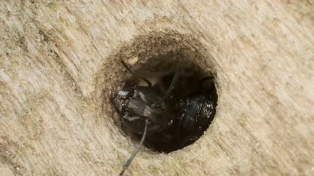 Two oak carpenter ant out of a hollow tree. Super macro 2: 1, 4K  60fps