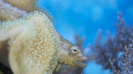 Portrait of Carpet eel-blenny (Congrogadus subducens) looks out of the soft coral. Aquarium. 4K  50fps, underwater shots Стоковые видеозаписи