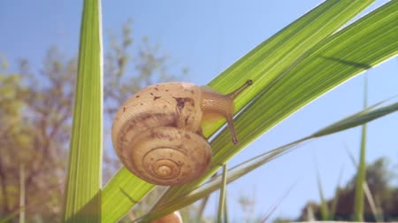 A small snail is crawling on a sunny day. Low-angle shot, Close-up, Full HD - 60fps Стоковые видеозаписи