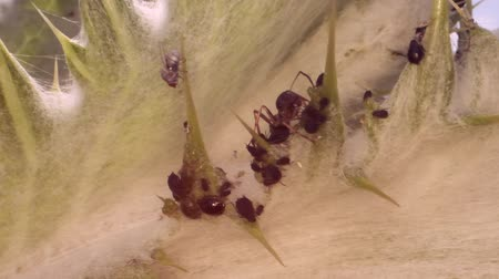 Red barbed ant thistle milking aphids on a sheet of spear. Slow motion. Macro 1: 1. Стоковые видеозаписи