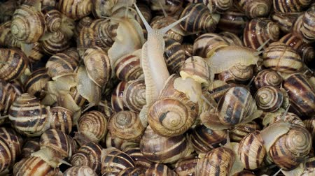 terrestre : Many food snails. Background of live snails. Top view? 4K  60fps