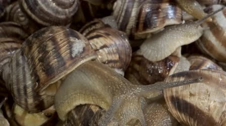 Background of live snails. Snail in the center is in camera focus. Super macro 2: 1, Top view? 4K  60fps