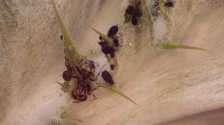 milking : Red barbed ant thistle milking aphids on a sheet of spear. Super macro 2: 1. 4K  60fps Stock Footage