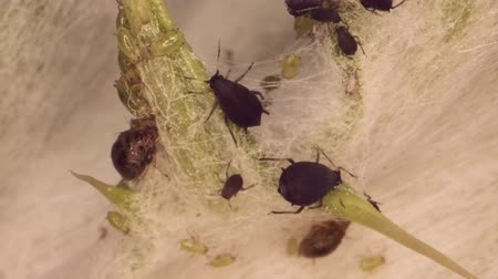 Colony aphids thistle Super macro 2: 1. 4K  60fps
