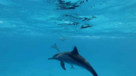 spinner dolphin : Group of juvenile dolphins playing under water in blue water. Spinner Dolphin (Stenella longirostris), Underwater shot, Red Sea, Sataya Reef (Dolphin House) Marsa Alam, Egypt, Africa Stock Footage