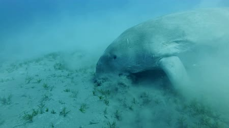 algler : Slow motion, Portrait of the Sea Cow (Dugong dugon), Gnathanodon speciosus. Underwater shot, Closeup. Red Sea, Hermes Bay, Abu Dabab, Marsa Alam, Egypt Stok Video